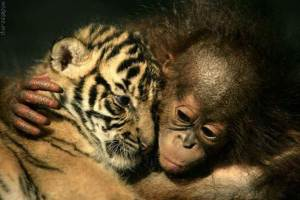 Tiger&Primate